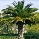 Jardinería en Vizcaya: el picudo rojo en las palmeras